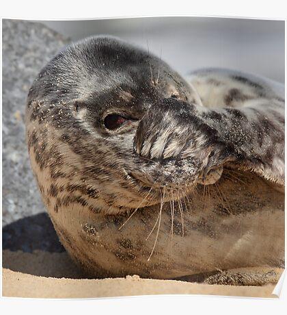 Peek-A-Boo Seal Poster