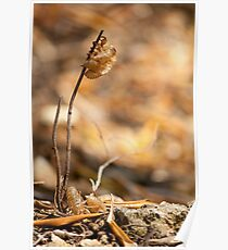 Cicada (Tree cricket) skins Poster