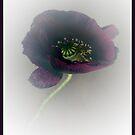 Poppy by Photos - Pauline Wherrell