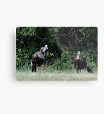 Turkeys - (Meleagris gallopavo) Metal Print