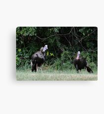 Turkeys - (Meleagris gallopavo) Canvas Print