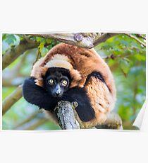 Red Buffed Lemur Poster