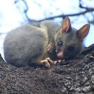 Did you wake me for a reason? Common Brushtail Possum - Trichosurus vulpecula by Lydia Heap