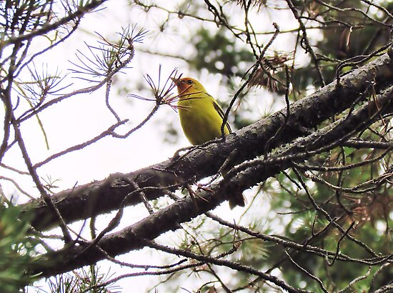 Western Tanager by Brenda Dahl