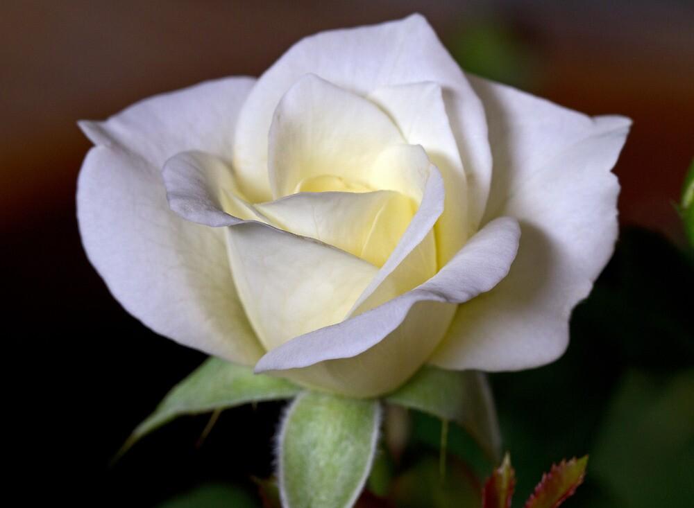 The Fragrant Gift by Lynn Gedeon