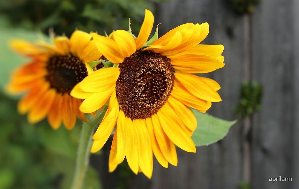Sunflower Duet by aprilann