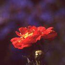 I Wish I was a Rose by jschwab