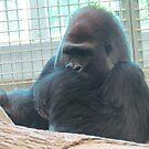 Gorilla  by Shawty's Photography