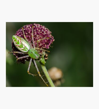 Green Lynx Spider! Photographic Print