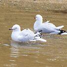 Bath time. Silver Gull - Chroicocephalus novaehollandiae by Lydia Heap