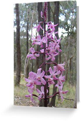 Rosy Hyacinth Orchid - Diodium roseum by Lydia Heap