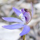 Blue fairies. Blue Caladenia - Cyanicula caerulea by Lydia Heap