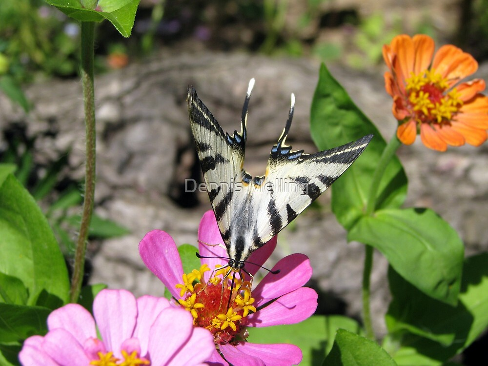 Iphiclides podalirius sometimes called the Scarce Swallowtail Butterfly enjoying the Zinneas by Dennis Melling