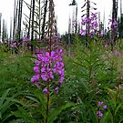 Fire In The Weeds ~ Wild Fireweed ~ by Charles & Patricia   Harkins ~ Picture Oregon