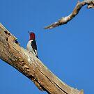Redheaded Woodpecker by Kate Farkas