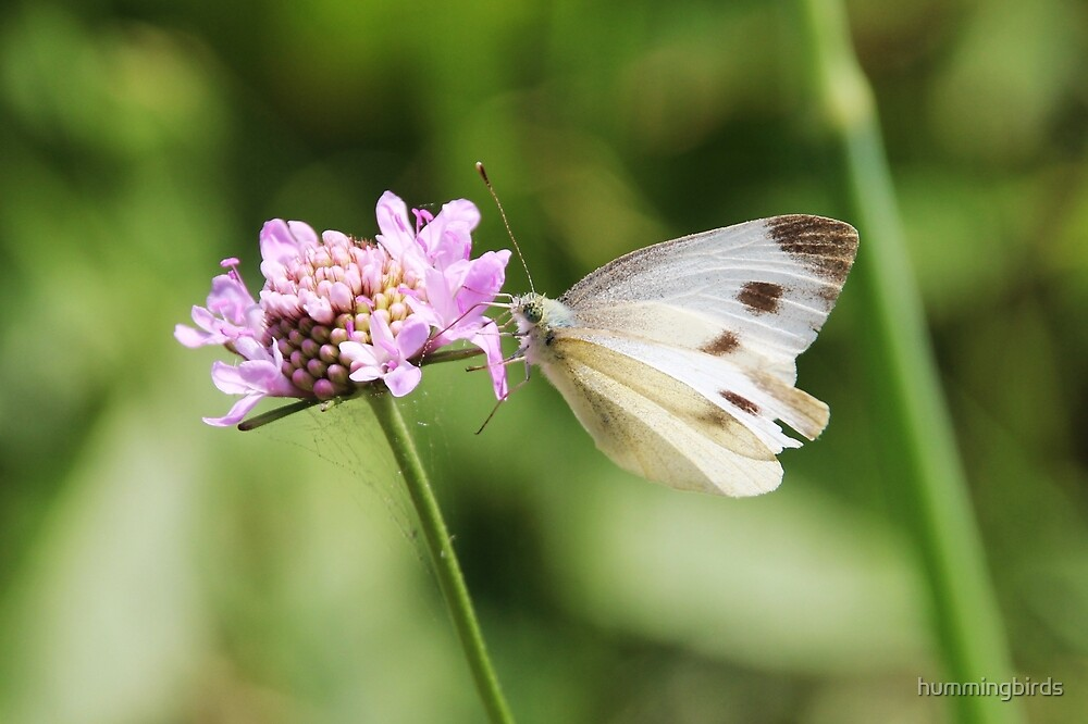 Female Cabbage White Butterfly by hummingbirds