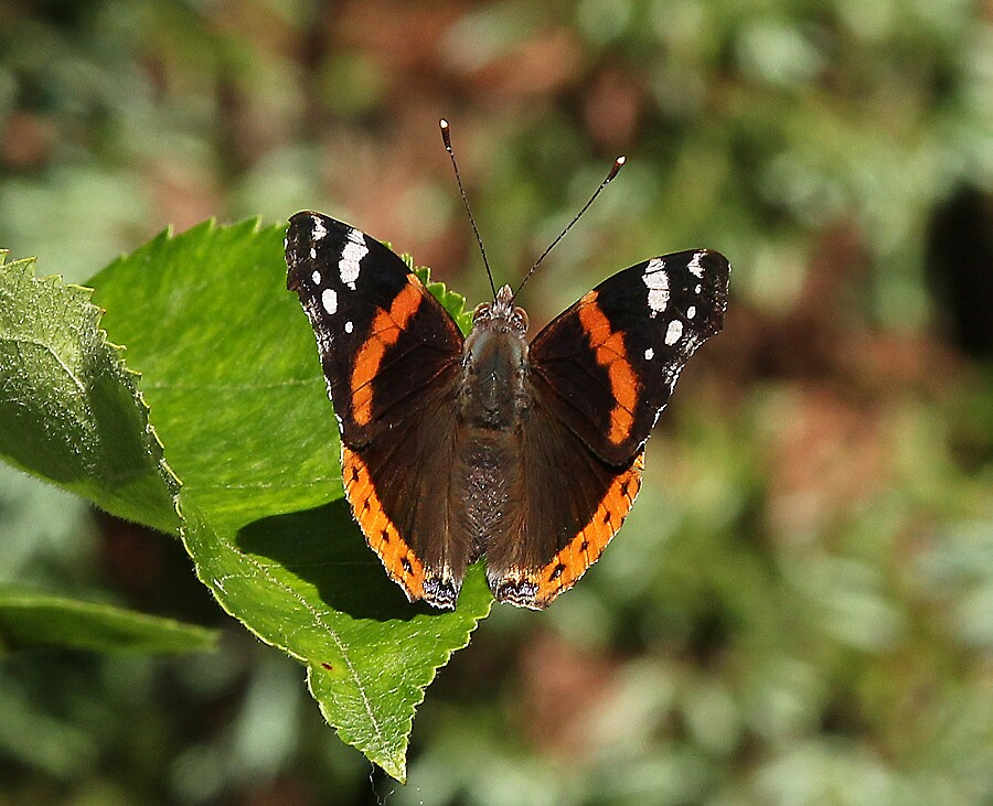 Red Admiral butterfly 11 by Rivendell7