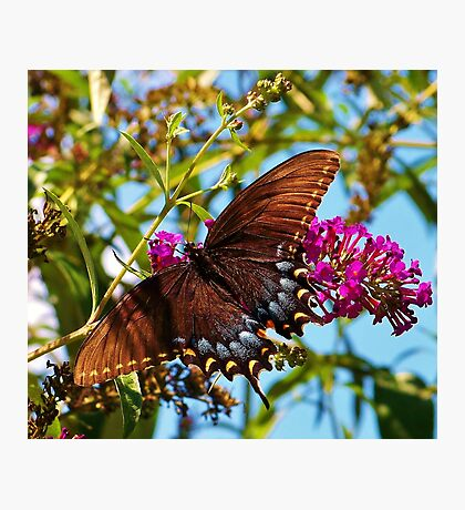 The Blue & Black Butterfly Photographic Print