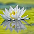 White lilly by Daniel  Parent