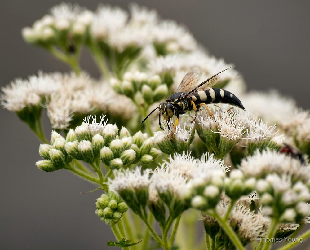 Busy Bee on White by Thomas Young