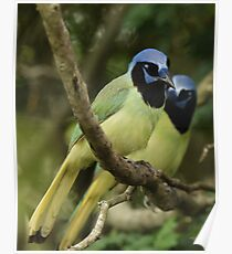 Just a Pair of Green Jays Poster