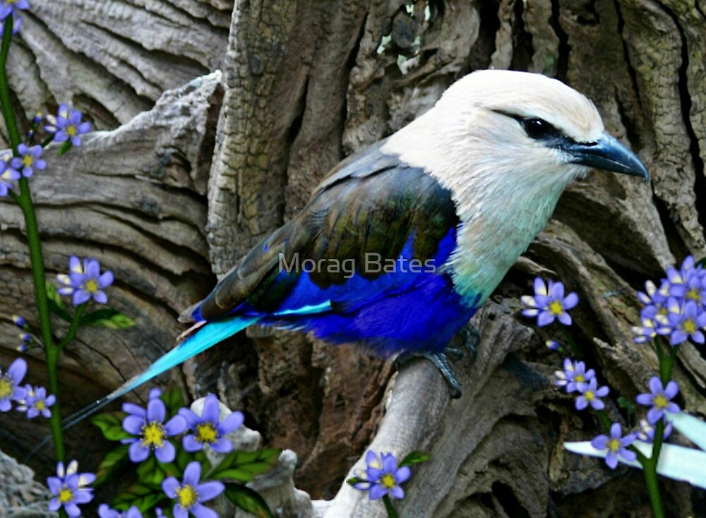 Blue Breasted Roller by Morag Bates