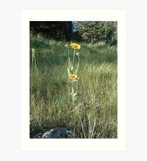 CONEFLOWERS - SWEET GRASS COUNTY, MT Art Print