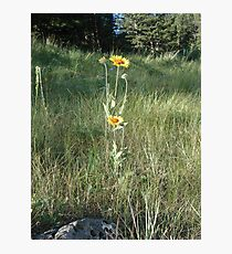 CONEFLOWERS - SWEET GRASS COUNTY, MT Photographic Print