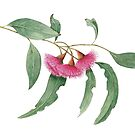 Eucalyptus leucoxylon - Yellow Box with Red Flowers by Cheryl Hodges