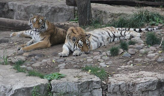 """""""Tigers""""  by Carter L. Shepard by echoesofheaven"""