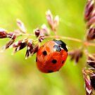 ladybug by Diana Calvario
