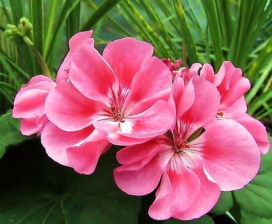 Tropical Pink by Brenda Dahl