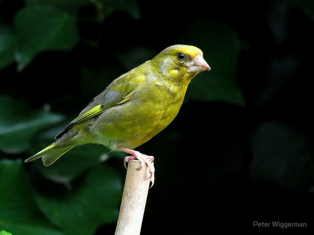 Greenfinch by Peter Wiggerman