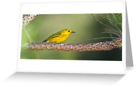 Yellow Warbler on Pine by Tom Talbott