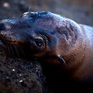 Galapagos Sea Lion by Frank Bibbins