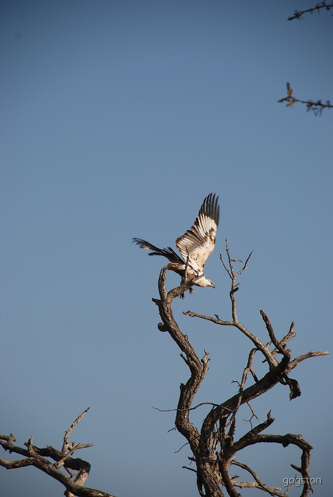 Fish eagle taking flight by gogston