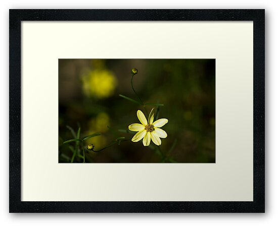 Coreopsis by Eric Weiand