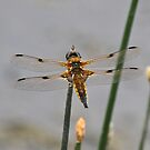 Four Spotted Chaser by dilouise