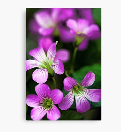 -Pretty in Pink Canvas Print