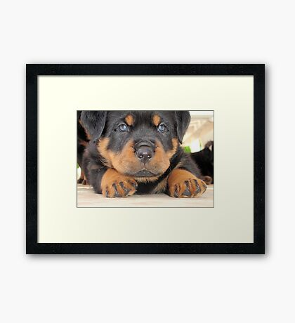 Cute Rottweiler Puppy With Blue Eyes Framed Print