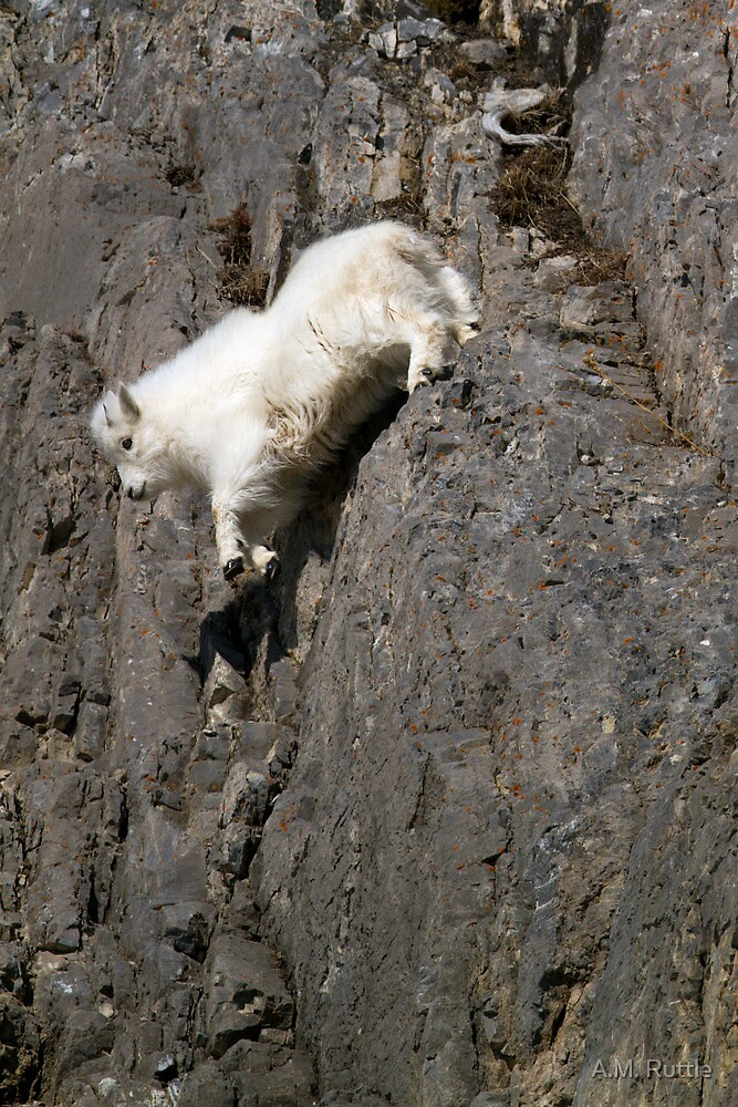Wildlife Olympics - Tricky Dismount, Mountain Goat Kid by A.M. Ruttle