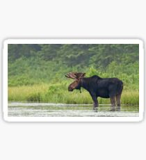 Bull Moose - Algonquin Park, Canada Sticker