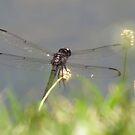 Dragonfly World by Alex Call
