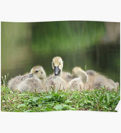 Three Goslings Poster