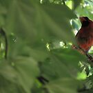 Cardinal in Maple Tree by Alex Call