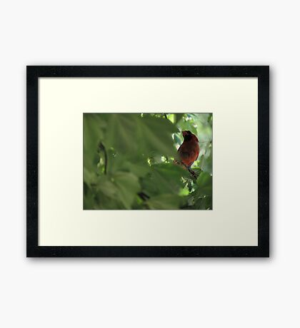 Cardinal in Maple Tree Framed Print