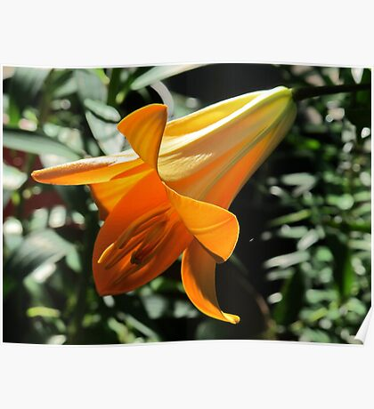 Copper Angel Lily Poster