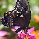 Spicebush Swallowtail by EkaterinaLa