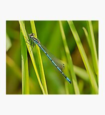 Azure Damsel Fly Photographic Print