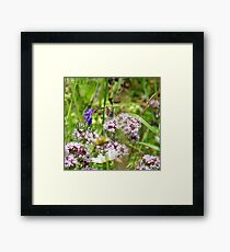 Northern brown Argus butterfly Framed Print